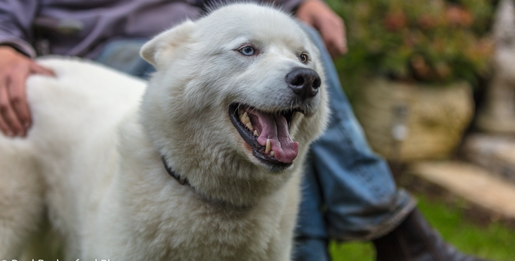 'Ice', a beautiful, white Malamut - Husky cross and rescue dog
